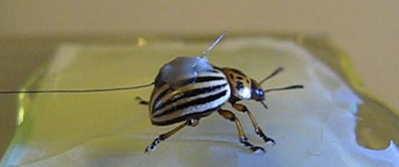 Potato Beetle.png
